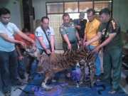 Pelaku Pembunuh Harimau Sumatera Profesional, Kulit Dijual Ratusan Juta Rupiah