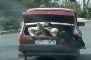 Edan, Sapi Diangkut di Bagasi Mobil Sedan