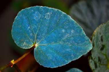 Daun Tumbuhan Ini Berwarna Biru Menyala di Kegelapan