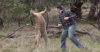 Dipukul Pria, Begini Reaksi Aneh Kanguru