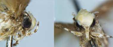 Spesies Ngengat Baru Diberi Nama dari Donald Trump sebagai Penghormatan