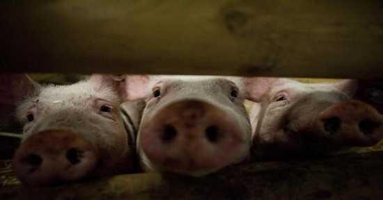 Babi Haram dalam Penjelasan Alquran dan Sains