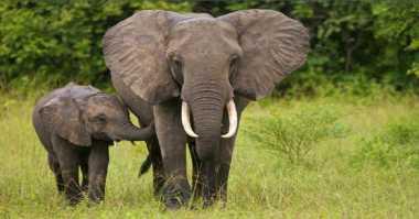 Impian Ilmuwan untuk Bangkitkan Woolly Mammoth Bakal Terwujud
