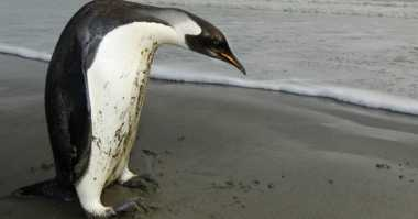 Penguin Raksasa Kuno Hidup Bersama Dinosaurus