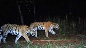 VIDEO: Mengejutkan! Kawanan Harimau Langka Ditemukan di Thailand