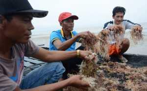 KKP Kembangkan Rumput Laut Lawi-Lawi untuk Diekspor