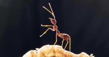 Unik, Peneliti Namakan Semut Ini 'Radiohead'
