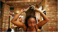Setelah Kafe Berkonsep Kucing, Kini Ada yang Menghadirkan Rakun
