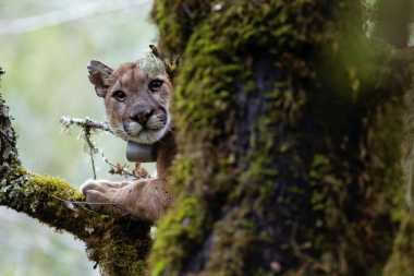 Peneliti Ungkapkan bahwa Singa Gunung Takut dengan Manusia