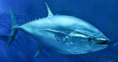 Nih Cara Ikan Tuna Bisa Terbang Mirip Jet Tempur