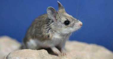 Menakjubkan! Suara Tikus Belalang Ternyata Sekeras Manusia