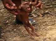 Astaga! Hanya Punya Satu Mata, Wajah Babi Ini Mirip Monyet