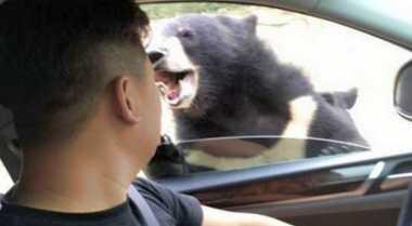 Astaga! Nekat Beri Makan, Pria Ini Diserang Beruang di Taman Safari Beijing