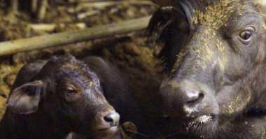 DO YOU KNOW: Unik! Puluhan Katak Pemakan Lalat Rupanya Hidup di Punggung Kerbau