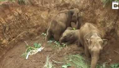 VIDEO: Kasihan... 4 Ekor Anak Gajah Terjebak di Sebuah Lubang di Sri Lanka
