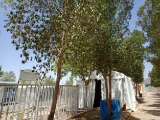 Pohon Soekarno di Antara Tenda Jamaah di Arafah yang Bikin Sejuk