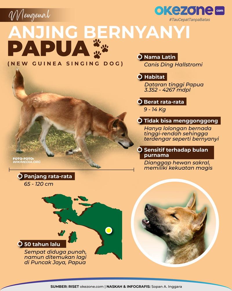 Mengenal Anjing Bernyanyi Papua -