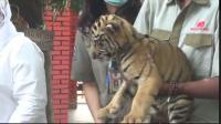 Dua Anak Harimau Lahir saat Pandemi Covid-19, Namanya Bikin Gemes