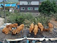 Terdampak Banjir Korsel, Puluhan Sapi <i>Nyangkut</i> di Atap Rumah