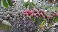 Erupsi Sinabung, 1.483 Hektare Lahan Pertanian Terancam Gagal Panen