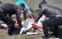 Penyu Mati Ditemukan di Pantai Cilacap, Jadi yang Keenam dalam 2 Bulan Terakhir