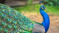 Bulu Burung Merak Jantan dan Betina Berbeda, Ini Penyebabnya