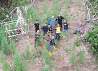 Polisi Temukan Ladang Ganja di Bukit Barisan, Pemilik Diburu