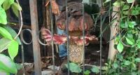 Kakek Ini Tak Sadar Tanam Bunga Bangkai di Pekarangan, Sudah 12 Tahun Mekar 3 Kali