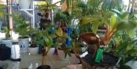 Bonsai Kelapa Makin Diminati Warga saat Pandemi Covid