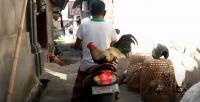 Unik! Si Jojon Ayam Jago dari Bali yang Hobi Boncengan di Motor