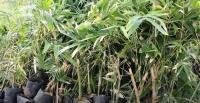 Pertama di Blora, Warga Tanam Ribuan Bambu Berbagai Varietas