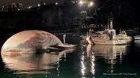 Bangkai Salah Satu Paus 'Terbesar' Ditemukan di Italia
