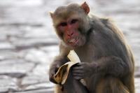 Bocah 5 Tahun Diserang Monyet Liar di Tangsel