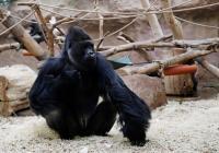 Terinfeksi Covid-19, Gorila di Bonbin Praha Tak Nafsu Makan, Singa Batuk-Batuk