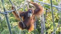 Orangutan di Kebun Binatang San Diego Disuntik Vaksin Covid-19