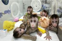 Ilmuwan AS Ciptakan Mahkluk Campuran Manusia-Monyet Pertama di Dunia