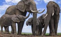 Pemburu Liar Tewas Diinjak-injak Kawanan Gajah