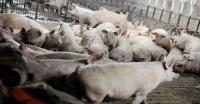 Manokwari Berstatus Waspada Virus Demam Babi Afrika