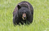 Hilang Saat Berjalan-jalan, Perempuan AS Ditemukan Tewas Diganyang Beruang