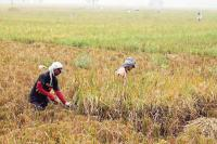Perlindungan Gagal Panen, Kementan Dorong Petani di Gianyar Daftar AUTP