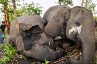 18 Gajah Liar di India Dikabarkan Mati Tersambar Petir