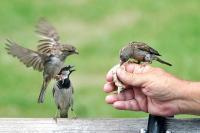 Wow, Studi Terbaru Perkirakan Ada 50 Miliar Burung Liar di Dunia, Burung Pipit Sekitar 1,6 Miliar