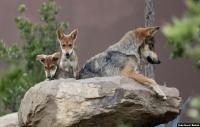Serigala yang Terancam Punah Melahirkan 5 Anak