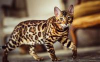 Nekat Curi Kucing Bengal Seharga Puluhan Juta, Pria Paruh Baya Ditangkap Polisi