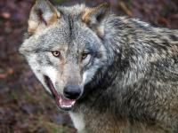 Kawanan Serigala Serang Aktor dalam Pementasan Drama di China