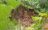 Tebing Setinggi 50 Meter Longsor Tutupi Irigasi, 60 Hektare Sawah Terancam Gagal Panen
