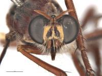 Lalat Lentera Tutul Serbu New York