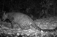 Macan Tutul Jawa Tertangkap Kamera Perangkap di Hutan Gunung Sanggabuana