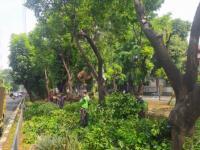 Masuki Musim Penghujan, Pemprov DKI Pangkas Pohon yang Rawan Tumbang