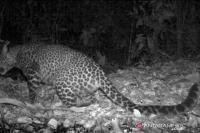 Penampakan Macan Tutul  Terekam Kamera di Gunung Sanggabuana Karawang